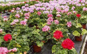 Invierten para producción de flores en Obispo Trejo