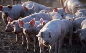 Secuestran porcinos por falta de documentación