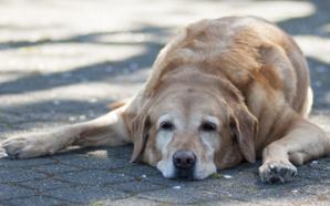 Golpe de calor en perros: cómo prevenirlo