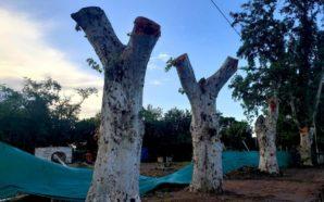 Descartables: podaron eucaliptos históricos y despertaron la rabia de los…