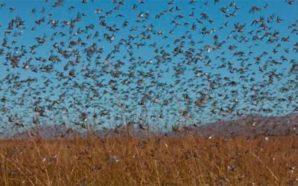 Alerta en Santa Fe por invasión de langostas