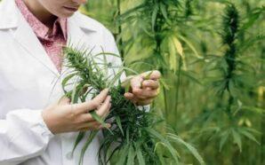 Dejan sin efecto ocho imputaciones por comercialización de cannabis medicinal