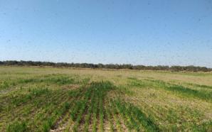 Plaga de langostas en el norte provincial: realizan aplicaciones para…